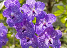 Orchid Vanda Royaltyfri Fotografi
