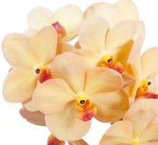 Orchid vanda Stock Image