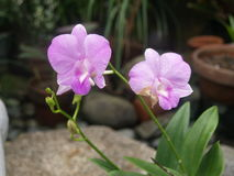 Orchid. Variety in the philippines Stock Image