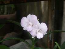 Orchid. Variety in the philippines Stock Photography