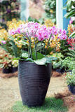 Orchid in a vase. Orchid in a pot at garden Stock Photography