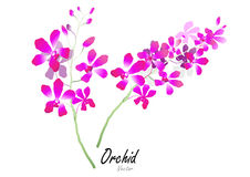 Orchid  ,vector illustration Royalty Free Stock Image
