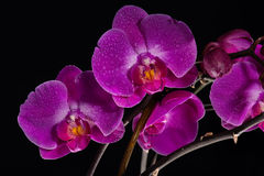 Orchid VII. An assemble of pink orchids in front of a monochrome black background Stock Photography