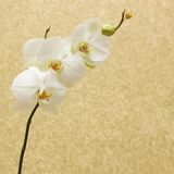 Orchid on vintage gold background Royalty Free Stock Photo