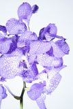 Orchid violet Stock Images
