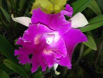 Orchid. The Violet Orchid Stock Image