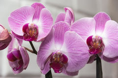 Orchid violet. On the stalk against the wall Royalty Free Stock Photos