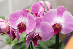 Orchid violet. On the stalk against the wall Stock Photos