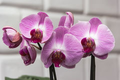 Orchid violet. On the stalk against the wall Royalty Free Stock Photography