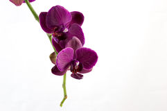 Orchid. Violet orchid with white background Stock Photography