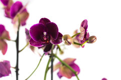Orchid. Violet orchid with white background Royalty Free Stock Photos