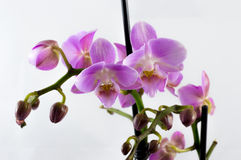 Orchid. Violet orchid with white background Stock Photo