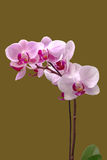 Orchid. In warm places, where there is much grass, or in places where there is dry savanna and rocky fields, orchids grow in the ground.[6] They have firm Royalty Free Stock Photos