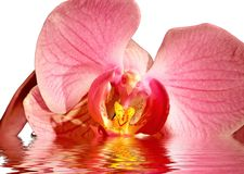 Orchid in water Royalty Free Stock Photo