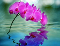 Orchid in water. One pink orchid in blue water Stock Image