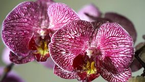 Orchid stock video