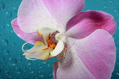 Orchid and water drops Royalty Free Stock Photo