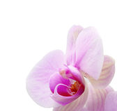 Orchid on white Royalty Free Stock Photography
