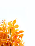 Orchid in white background Royalty Free Stock Photography