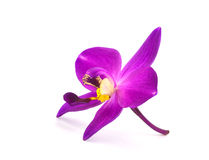 Orchid. On a White background Royalty Free Stock Photo