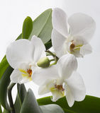 An orchid. Orchid on white background Royalty Free Stock Photos