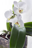An orchid. Orchid on white background Stock Images