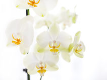 Orchid on white background Stock Photos