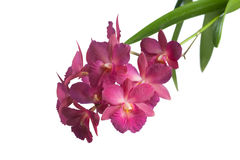 Orchid Royalty Free Stock Photo