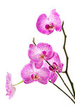 Orchid on white background Royalty Free Stock Photos
