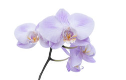 Orchid on a white background. Stock Image