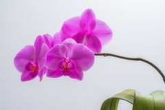 Orchid on white background. Flowers violet. white background royalty free stock image