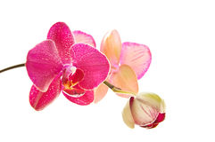 Orchid on white background. Isolated fuchsia orchid on white background stock photography
