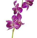 Orchid in a white background Stock Image