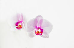 Orchid on a white background Royalty Free Stock Image
