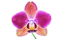 Orchid on white background Stock Photography