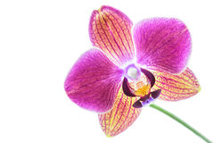 Orchid on white background Royalty Free Stock Image