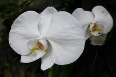 THE ORCHID Stock Photography