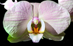 Orchid. White orchid on a black background Stock Photos