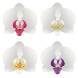Orchid white Royalty Free Stock Photography