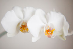 Orchid. White orchid on the day light, macro and closeup Stock Photo