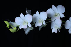 Orchid. White flower of orchid on  black background Stock Photo