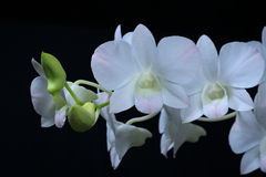 Orchid. White flower of orchid on  black background Stock Image