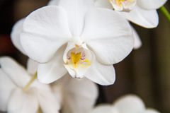 Orchid. A white orchid flower that has bloomed perfectly Royalty Free Stock Images