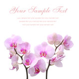 Orchid on a white isolated background Stock Image