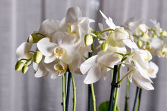 Orchid, white before light background Stock Image