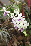 Orchid white and lilac flowers. Details of flowers white an lilac of orchid royalty free stock photos