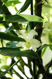 Orchid. The white orhid. My beautiful flower Royalty Free Stock Photography