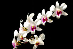 Orchid in white and pink Stock Photo