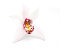 Orchid on white Royalty Free Stock Image