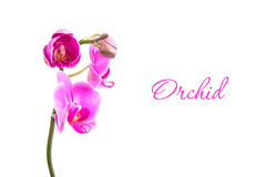 Orchid on White. Pink orchid isolated on white Stock Photo